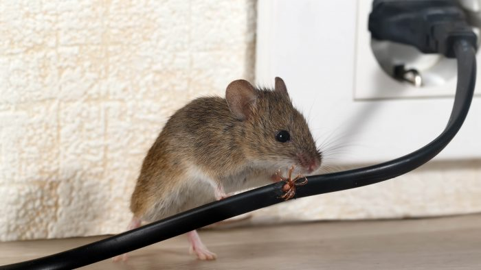 rodent pest control - Thorn Pest Solutions
