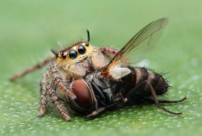jumping spider eating a fly close up