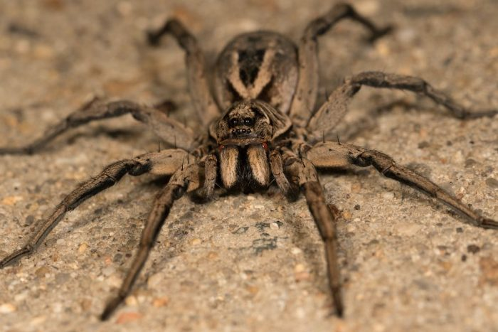 Close up of a wold spider