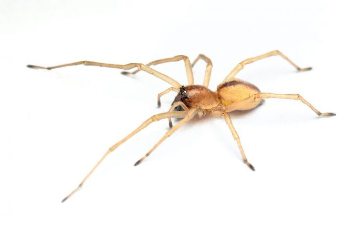 Close up of a yellow sac spider