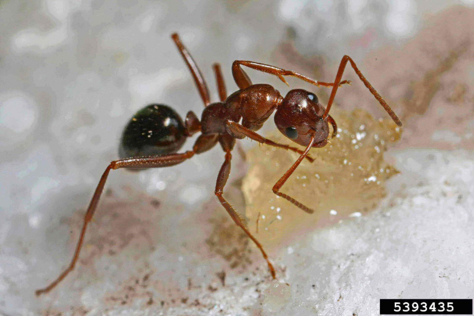 Red/orange colored Field ant eating yellow gel