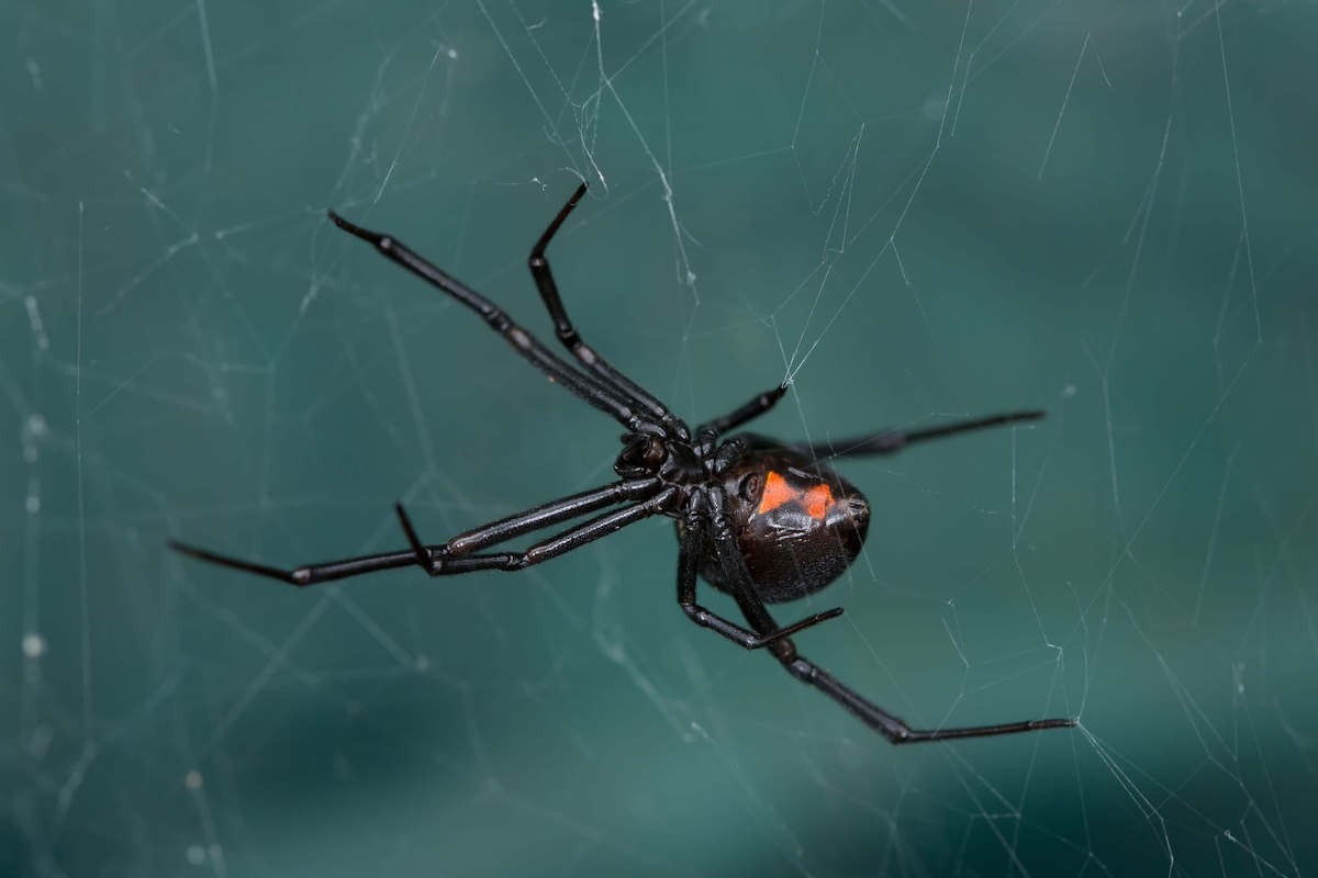 black and red black widow spider on a web