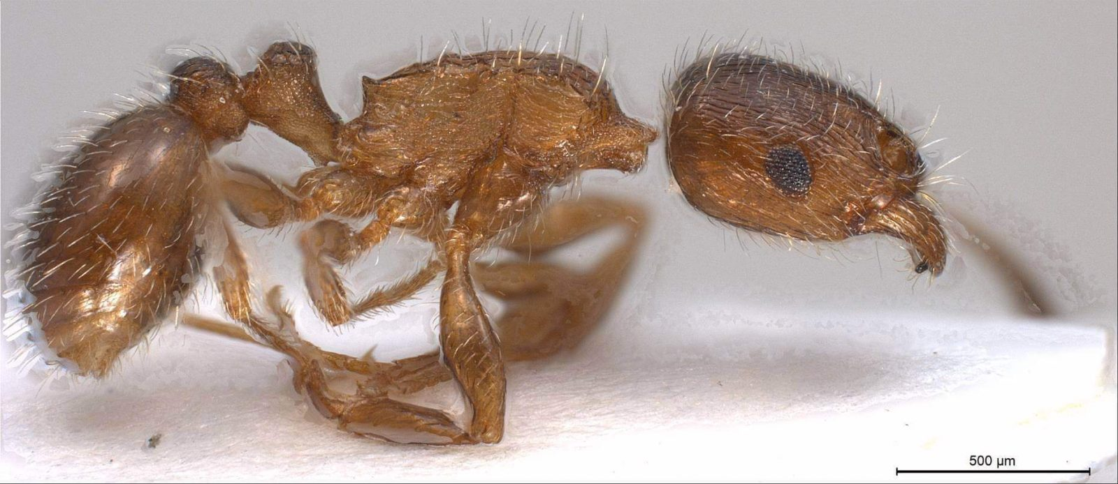 Top view of a pavement ant