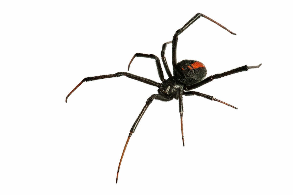black and red black widow spider on a white background