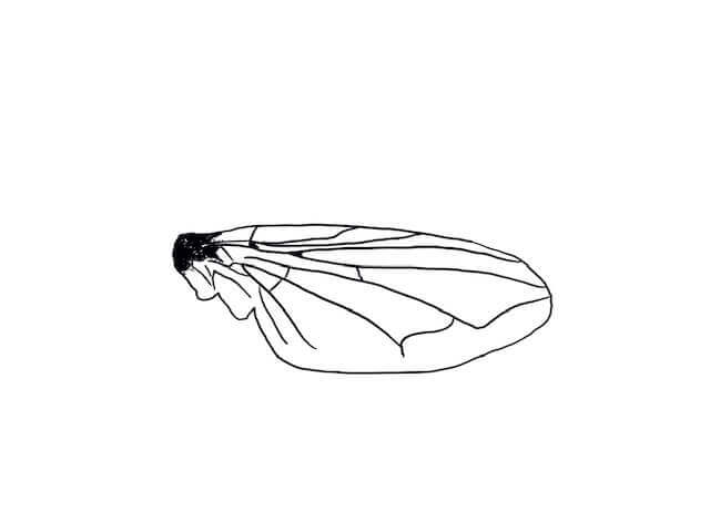 Drawing of a blow fly's wing venation