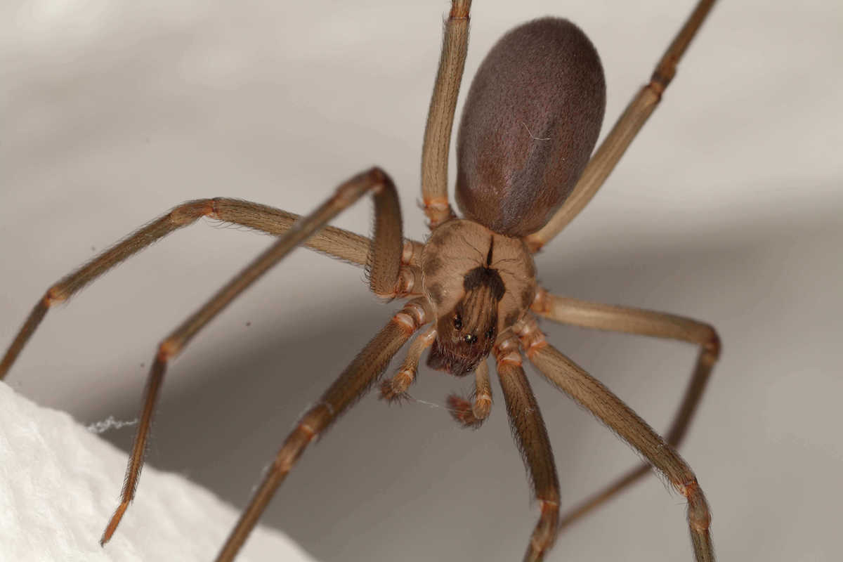 brown colored recluse spider