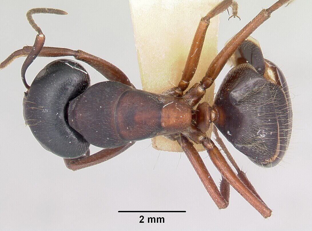 Top view of a Carpenter ant under a microscope
