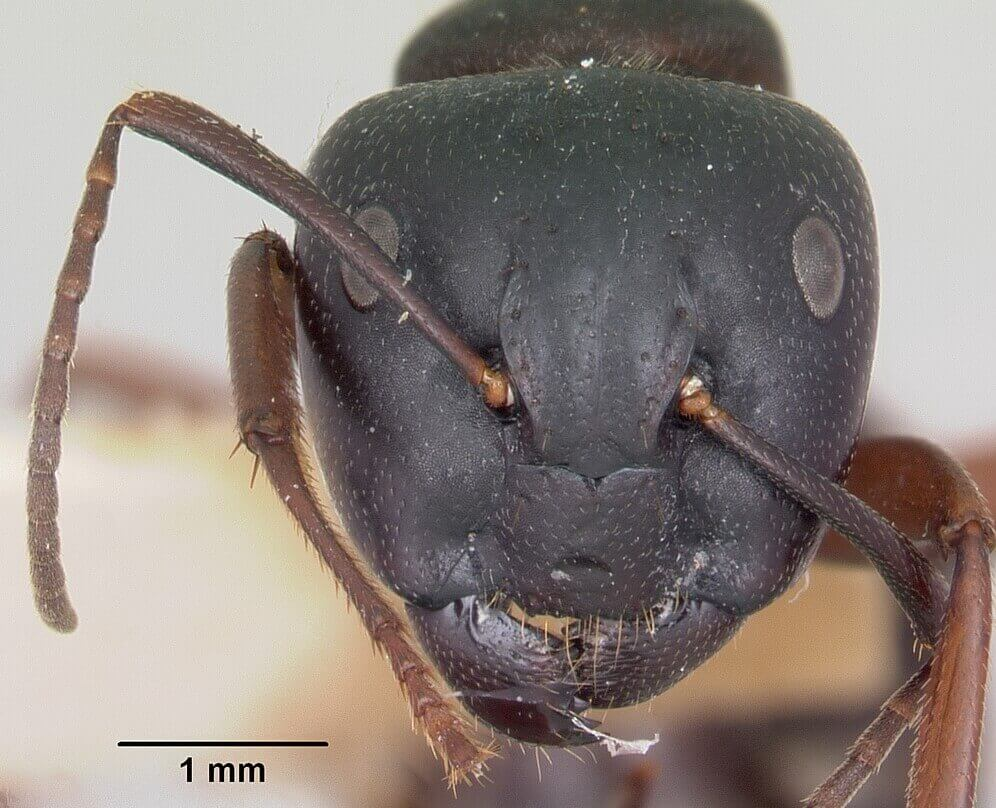 Head view of a Carpenter ant under a microscope