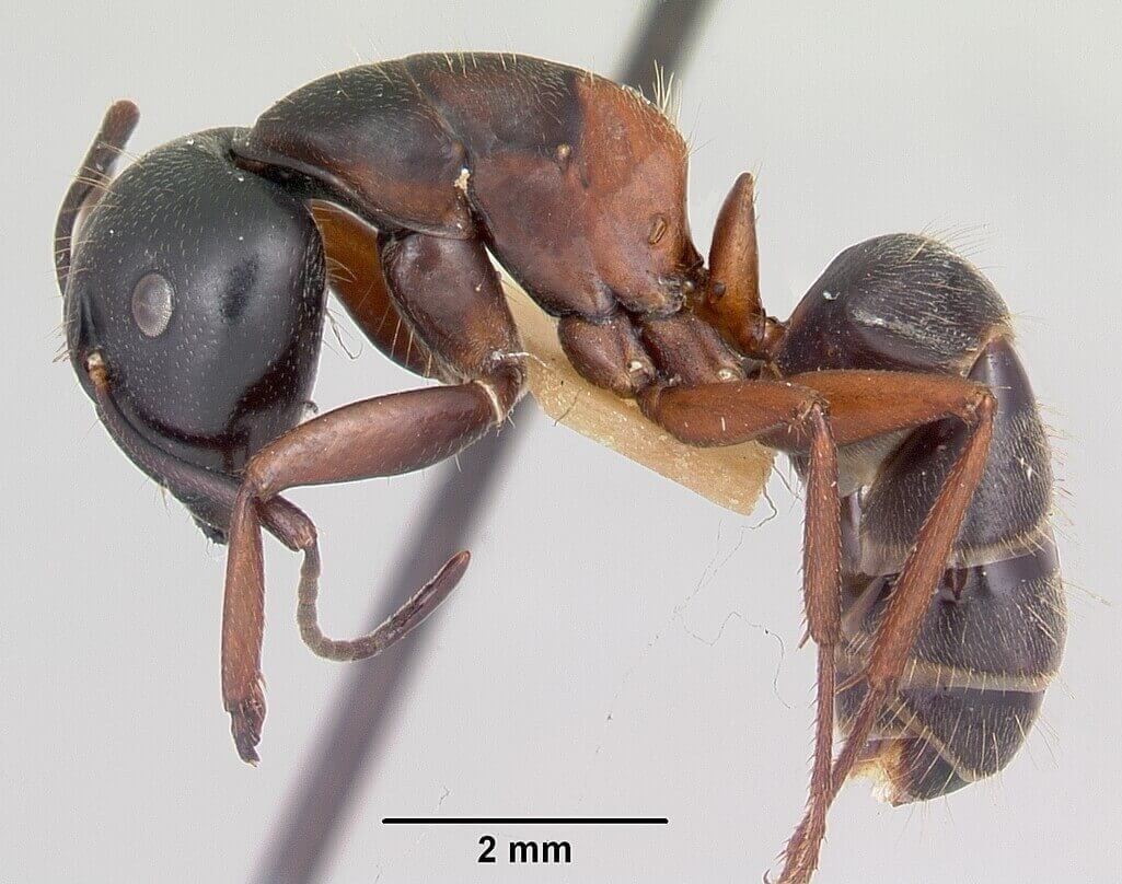 Side view of a Carpenter ant under a microscope