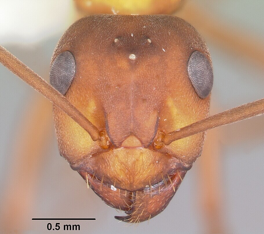 Head view of a Field ant under a microscope