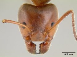Head view of a velvety tree ant under a microscope