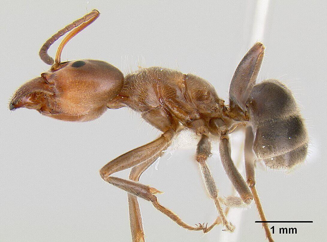 Side view of a velvety tree ant under a microscope