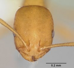 Head view of a pharaoh ant under a microscope