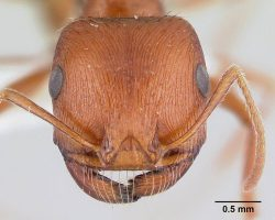 Harvester ant head under a microscope