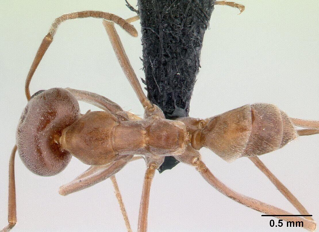 Top view of a pyramid ant