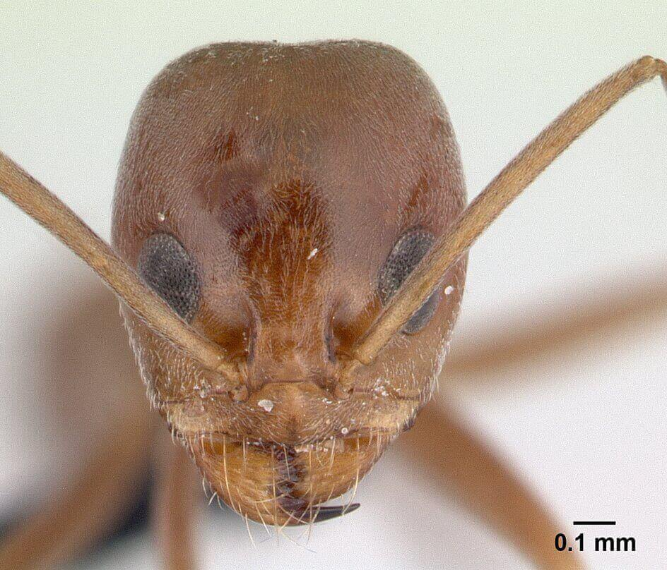 Close up head view of a pyramid ant