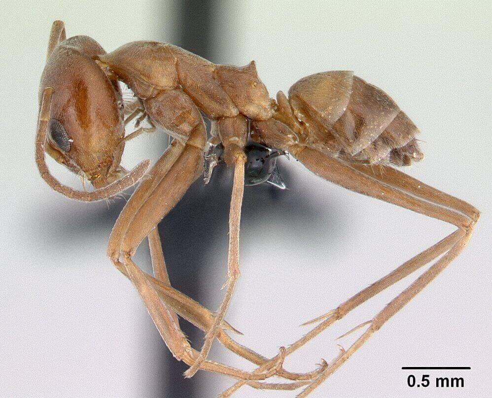 Side view of a pyramid ant