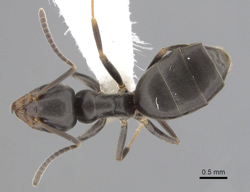 Top view of a Odorous house ant under a microscope
