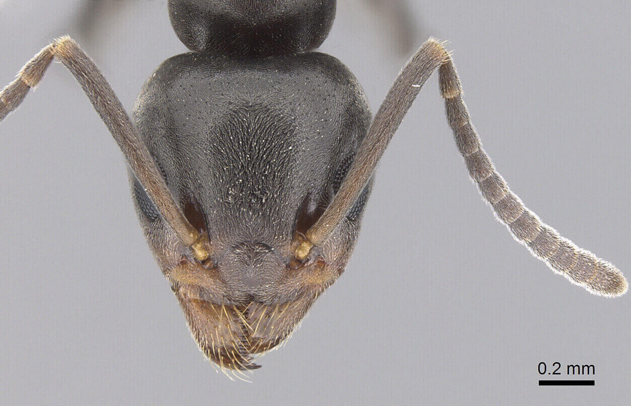 Top view of the head of an Odorous house ant under a microscope