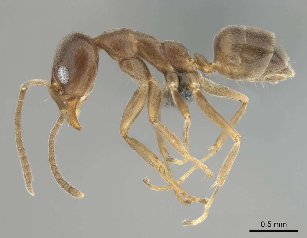 Side view of an Argentine ant under a microscope