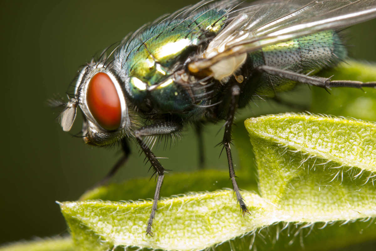 green metallic blow fly on a green plant