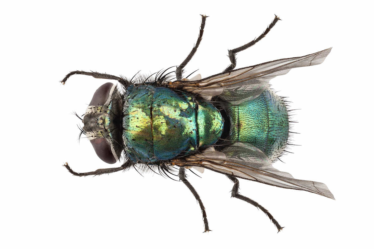 Green metallic body of a blow fly