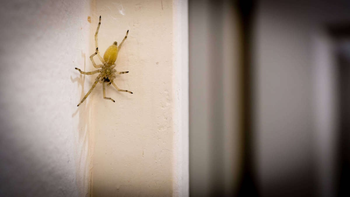 Yellow colored sac spider