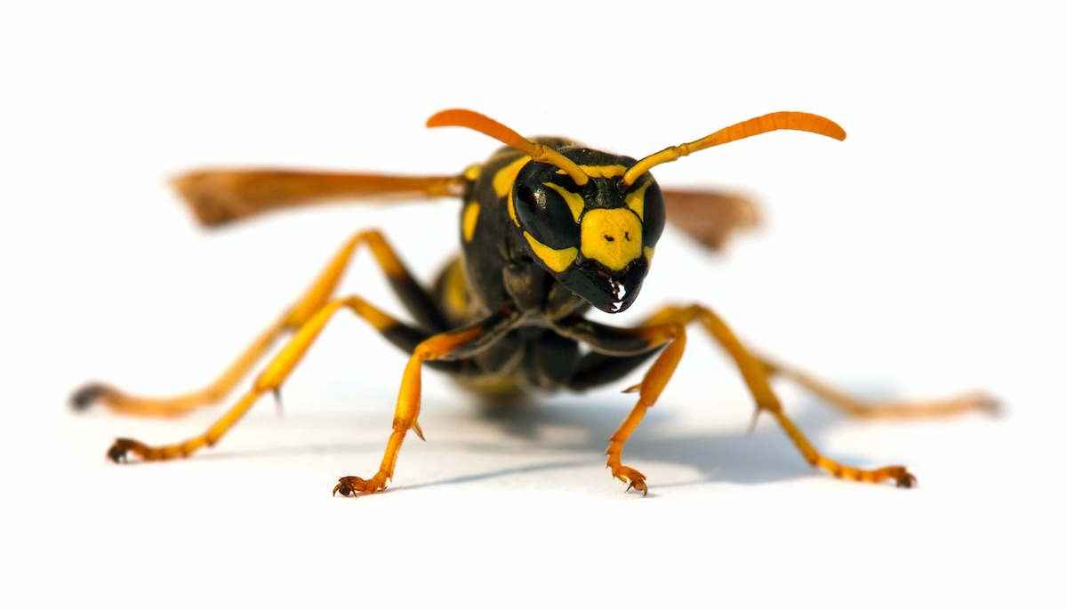 Black and yellow colored Yellowjacket on a white background
