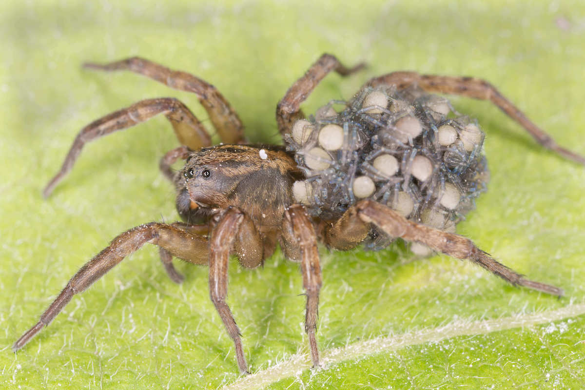 tan colored wolf spider with egg sacs on its back