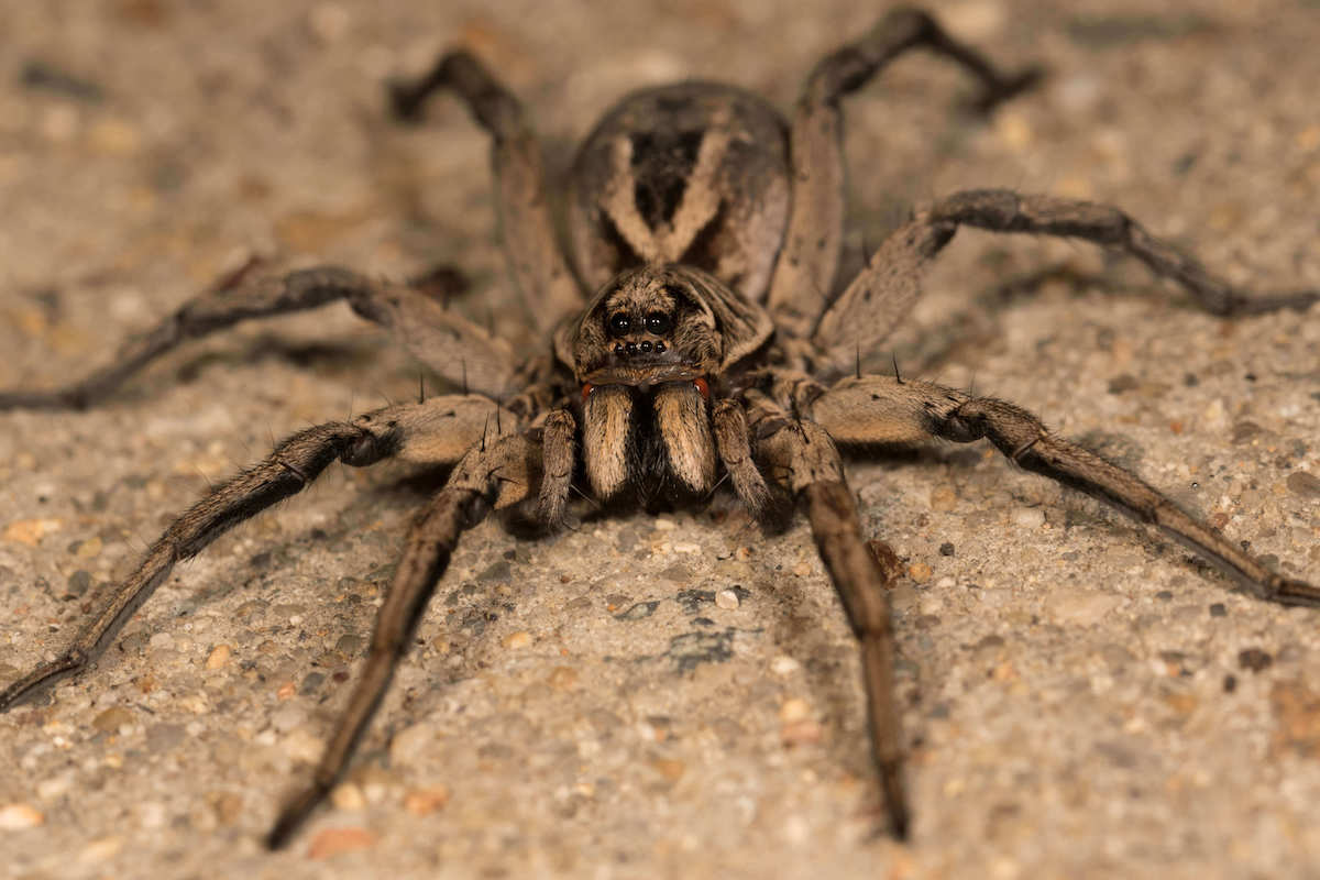 Brown colored wolf spider