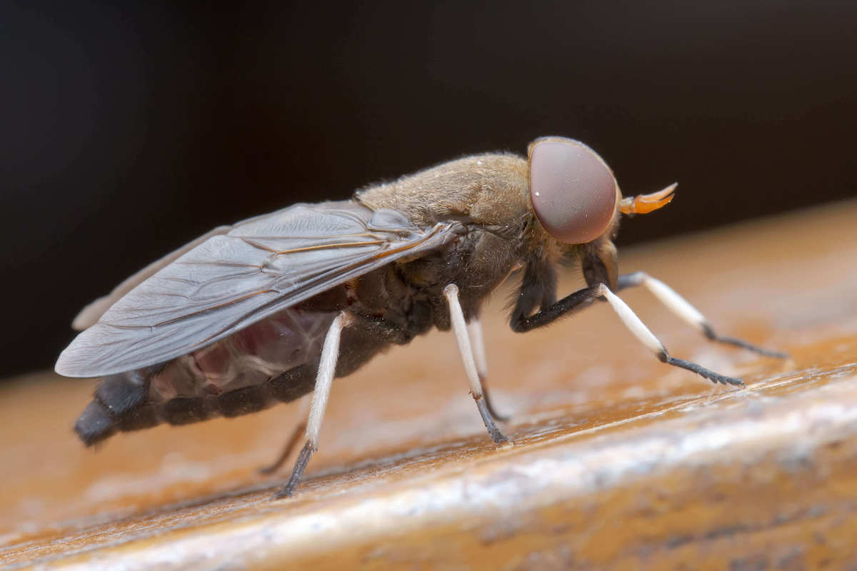 Close up view of a horse fly