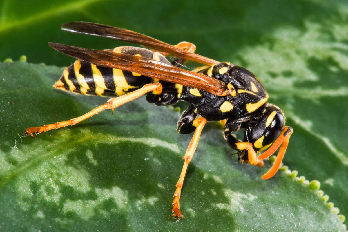 Black and yellow colored Yellowjacket on a green plant