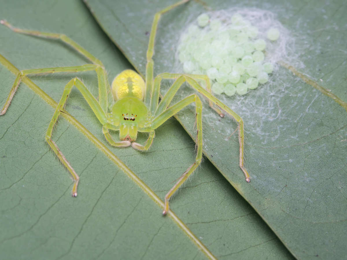 Yellow-green colored sac spider with an egg sac