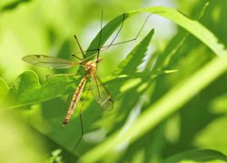 Crane fly in green blades of grass