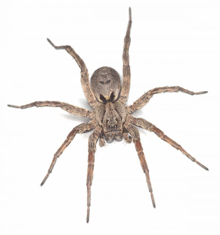 tan colored wolf spider on a white background