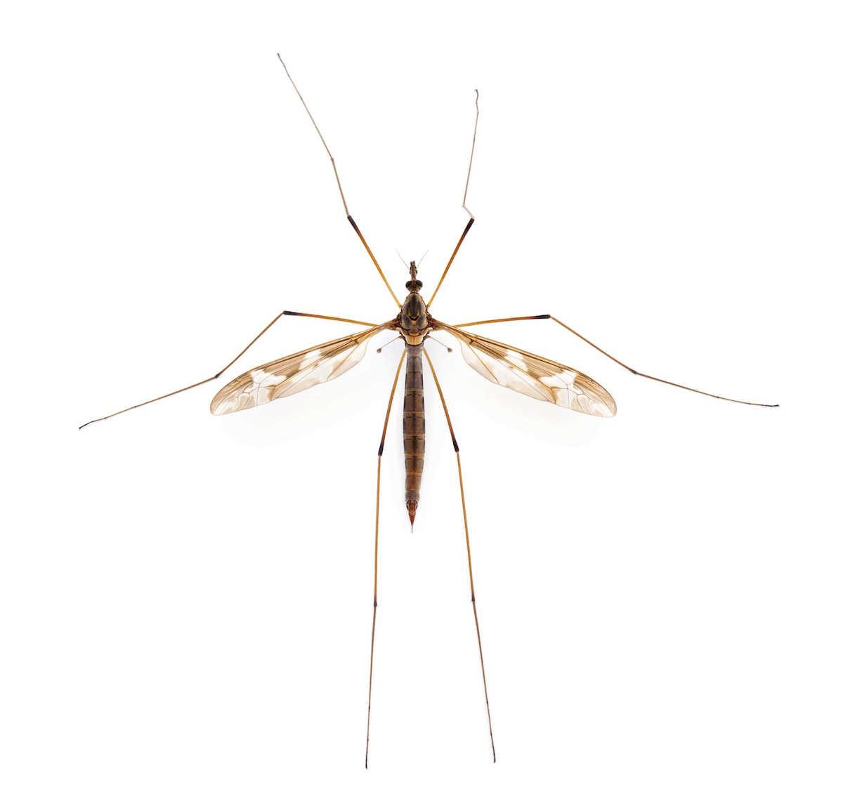 Crane fly with long legs on a white background